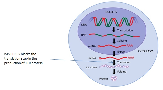 Gene expression inside a cell, showing mechanism of action of ISIS TTR Rx.